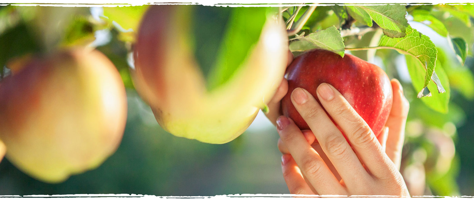 Selbstgepflückte Äpfel
